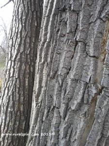 Cottonwood bark is very coarse and distinctive looking.
