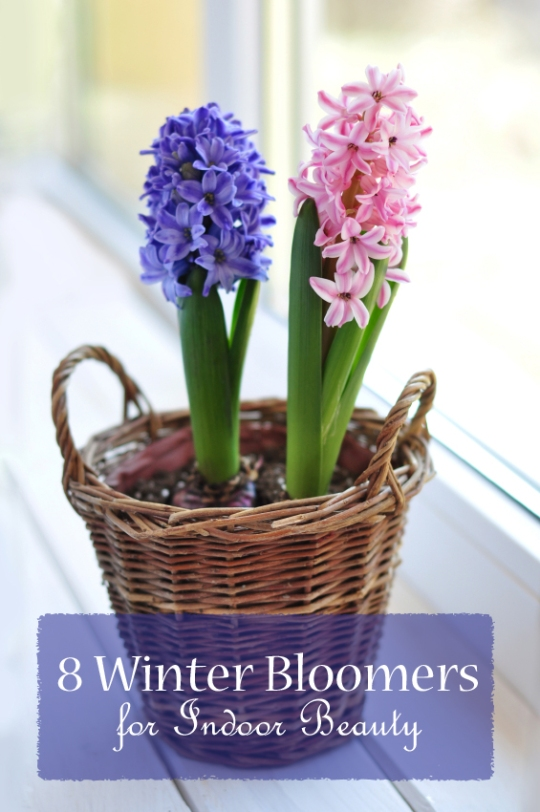 Winter blooms for indoors - www.ruralspin.com